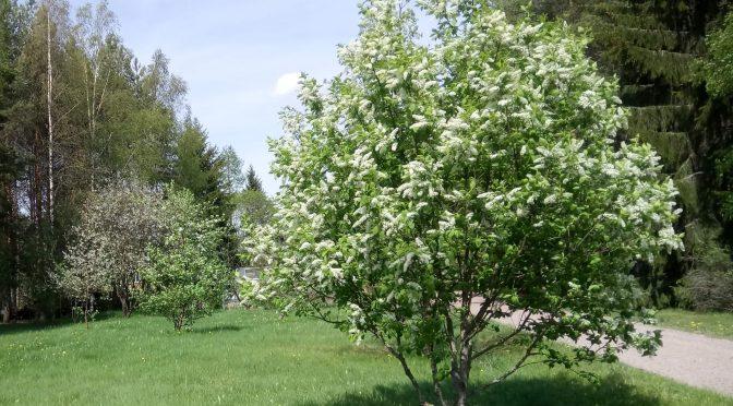 Kesä on tullut – puut kukkivat