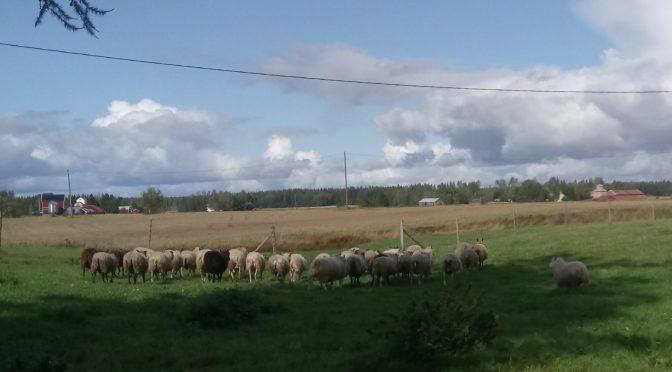 Rintalan Annen lampaita katsomassa